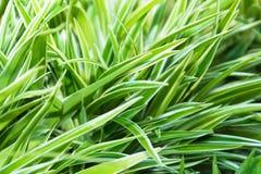 在背景的Cholorophytum comosum。 库存照片