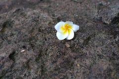 在背景石头下落的白色和黄色羽毛花 库存照片