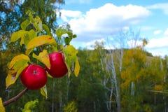 在背景秋天树和蓝天分支的红色成熟野苹果  免版税库存照片
