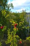 在背景秋天树和蓝天分支的红色成熟野苹果  免版税库存图片