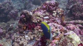 在背景红珊瑚的美丽的蓝色鱼水下在马尔代夫的海 股票录像