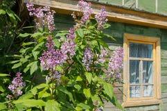 在背景老淡紫色窗口的开花的丁香在春天 免版税库存图片