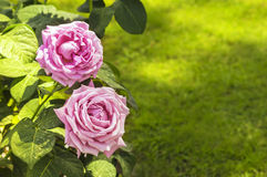在背景草坪的两朵紫色玫瑰 图库摄影
