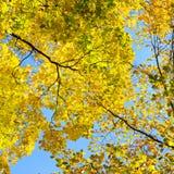 在背景蓝天的黄色叶子 图库摄影