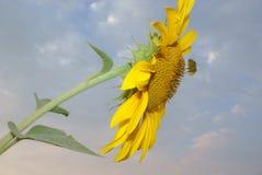 在背景蓝色多云天空的黄色花向日葵 图库摄影