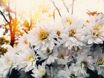 在背景金黄,黄色的白色菊花在秋天把,特写镜头留在 免版税库存照片