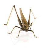 在背景隔绝的蚂蚱 图库摄影