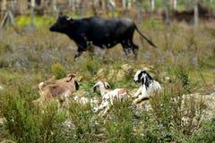 在背景黑色母牛的三只山羊 库存图片