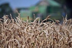 在背景combine_10的成熟麦子 库存图片