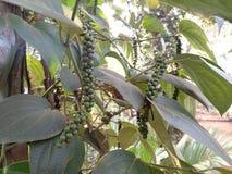 在胡椒植物的胡椒 免版税图库摄影