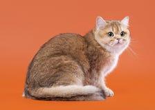 在胡说的棕色背景的幼小金黄英国猫 免版税库存图片