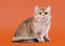 在胡说的棕色背景的幼小金黄英国猫 库存照片