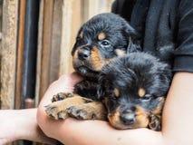 在胳膊的两只Rottweiler小狗 库存图片
