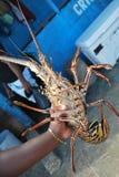 在胳膊的新鲜的龙虾 免版税库存照片