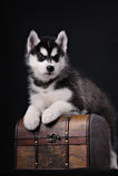 在胸口的严肃的小狗 库存照片