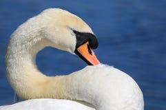 在脖子的天鹅休息的头 库存图片