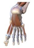 在脚下的肌肉韧带 库存例证