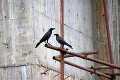 在脚手架铁的黑乌鸦栖息处与水泥墙壁是建设中背景 库存图片