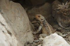 在脚跟之间的蜥蜴伪装 免版税库存照片