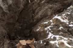 在腐朽的树干的第一雪 库存图片