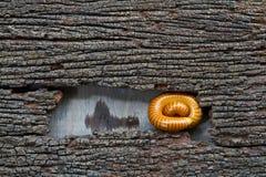 在腐烂的木头滚的千足虫。 免版税库存照片