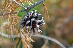 在腐烂的树的干燥杉木锥体 免版税库存图片