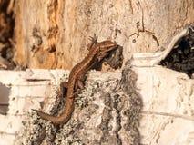 在腐烂的桦树树干的胎生蜥蜴 库存照片