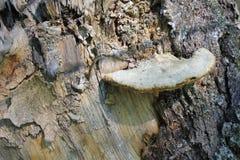 在腐烂的桦树树干的蘑菇  免版税库存图片