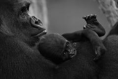 在膝部的单音小大猩猩母亲 免版税库存照片