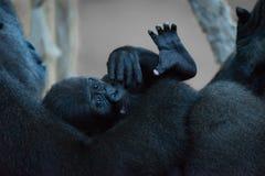 在膝部的小大猩猩母亲 免版税图库摄影