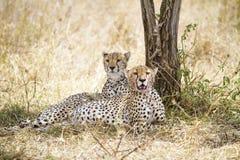 在膳食以后的猎豹休息在塞伦盖蒂 图库摄影