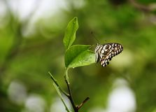 在自然世界的蝴蝶和搜寻食物 免版税库存照片