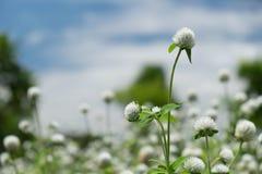 在自然中的白色草花 库存图片