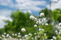 在自然中的白色草花 免版税库存照片