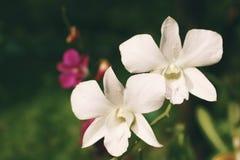 在自然中间的美丽的两白色兰花花 库存图片