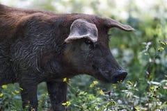 在自然中间的黑猪 免版税库存图片