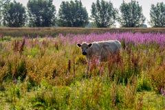 在自然保护的幼小淡色的盖洛韦牛与col 库存图片