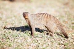 在自然保护的被结合的猫鼬在南非 免版税库存照片