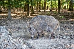 在自然保护的野生猪 免版税库存图片
