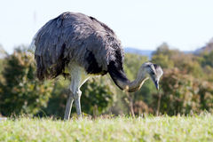 在自然保护的驼鸟 免版税库存照片