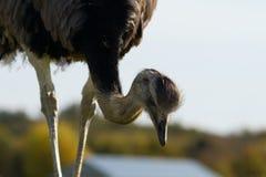 在自然保护的驼鸟 免版税库存图片