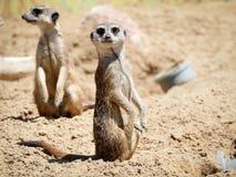 在自然公园的Meerkat 库存照片