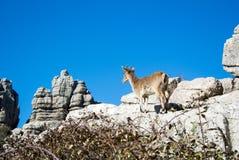 在自然公园El Torcal的一只野山羊 免版税库存图片