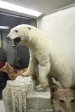 在自然历史博物馆的北极熊 免版税库存照片
