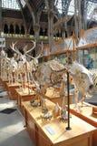在自然历史牛津大学博物馆的动物骨骼  免版税库存照片