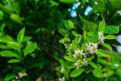 在自然叶子背景, fleur d ` o花的橙色开花  免版税库存图片