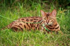在自然周围的一只唯一孟加拉猫 图库摄影