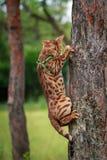 在自然周围的一只唯一孟加拉猫 免版税库存图片