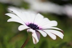 在自然地方的春天雏菊 免版税库存图片