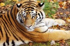 在自然地面的阿穆尔河老虎 免版税库存图片